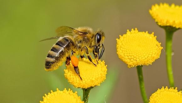 הסרה מכאנית של אקרית הוורואה מדבורי דבש