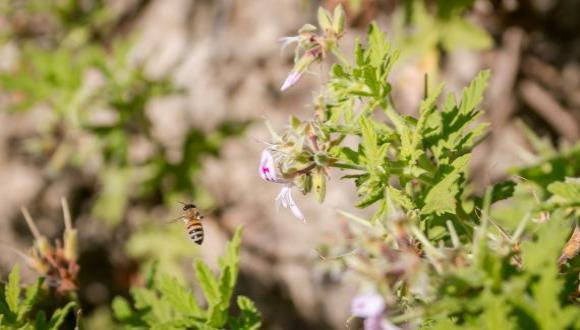דבורי בר ודבורת הדבש בישראל - קורס סיורי שטח . צילום: ניר לנגר