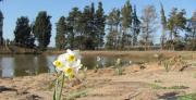 """שיקום שטחים חקלאים לא מנוצלים ע""""י השבת המגוון הביולוגי של צומח השרון ומאכלסי בריכות חורף, במסגרת פארק טבע קהילתי - הכפר הירוק"""