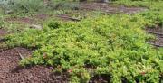 התאמת מיני צמחים לגגות ירוקים בישראל